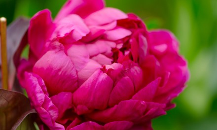 Red Raspberry Peonies