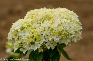 Immature White Hydrangea Bloom