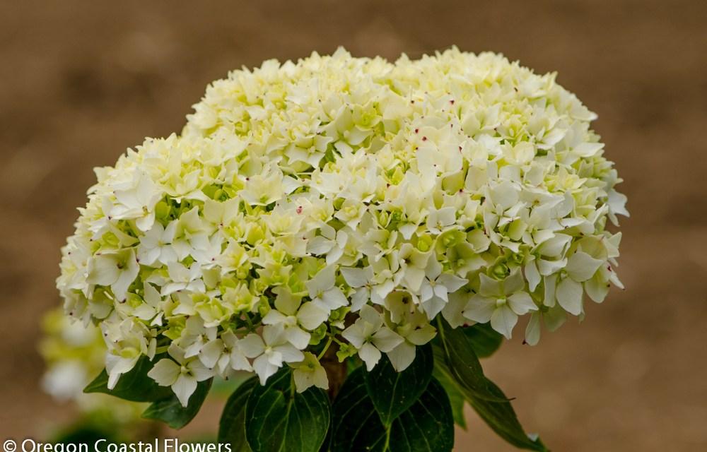 Antique White Hydrangea