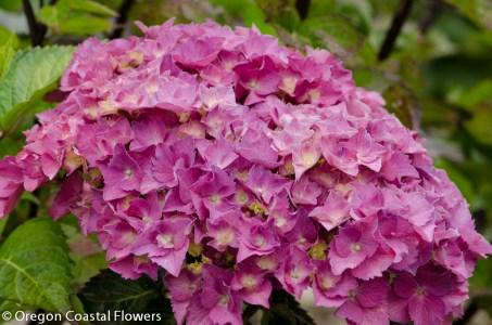 Pink Hydrangea Bloom