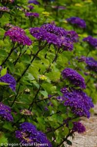 Purple Oregon Pride Hydrangeas