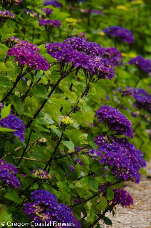 Dark Purple Oregon Pride Hydrangea