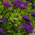 Dark Purple Oregon Pride Hydrangea