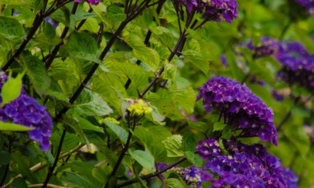 Oregon Pride Dark Purple Hydrangea with Black Stems 6.14.17
