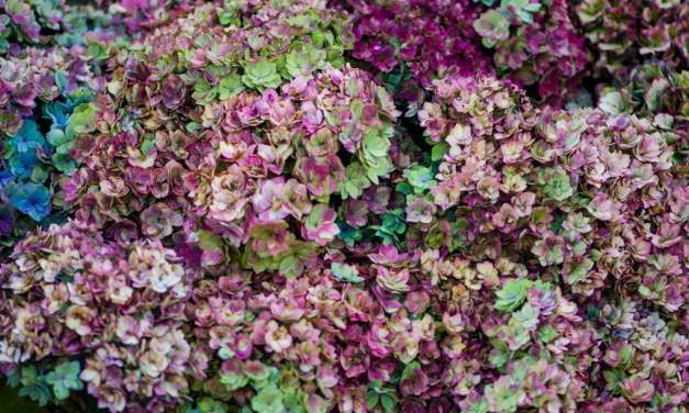 Antique Double Flowering Hydrangea