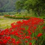 Red Montbretia