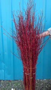 Red Twig Dogwood, Hand-Stripped