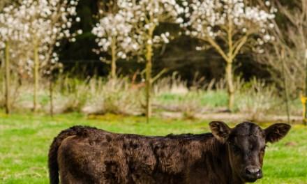 New Baby Calf on Oregon Coastal Flowers