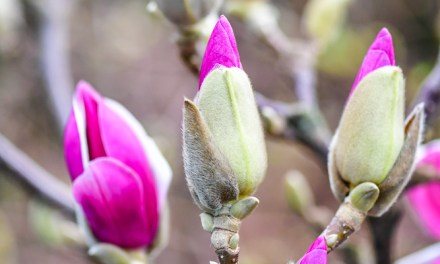 2.27.20 Yellow, Pink, Purple, White, & Black Tulip Magnolia Flowering Branches