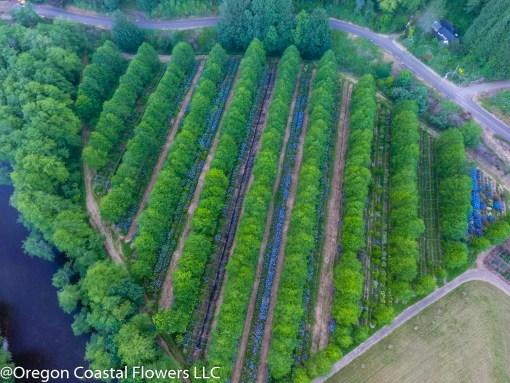 wedding hydrangea ranch aerial