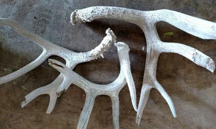 Rustic Shed Antlers in Floral Displays