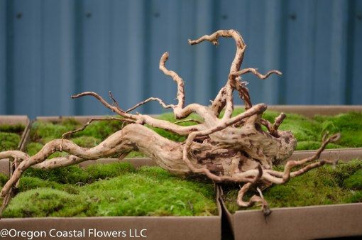spider root