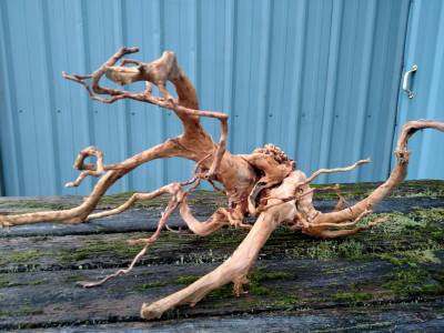 spider root small