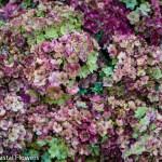 antique pistacio hydrangea