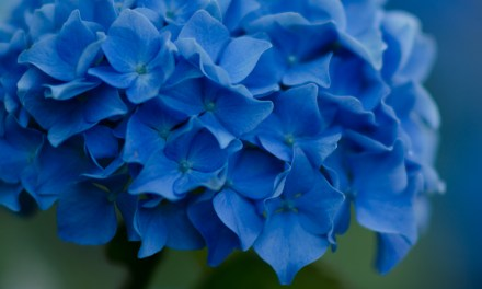 Bright Blue Hydrangeas 7.06.17
