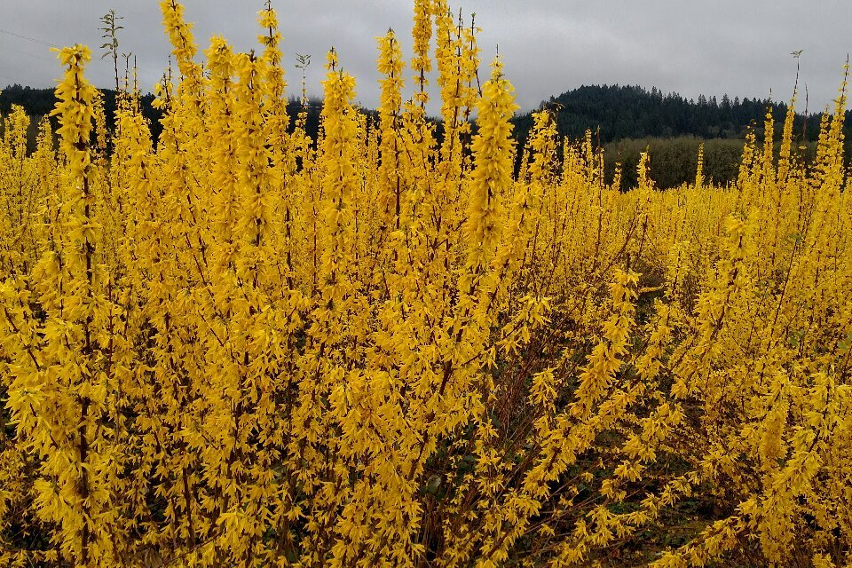 Chinese New Year Forsythia & Quince 1.07.18