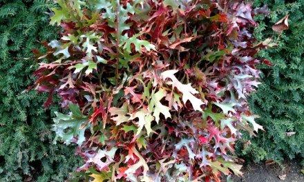Fall Oak Leaves in Floral Arrangements 10.23.17