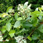 blueberry branches with fruit