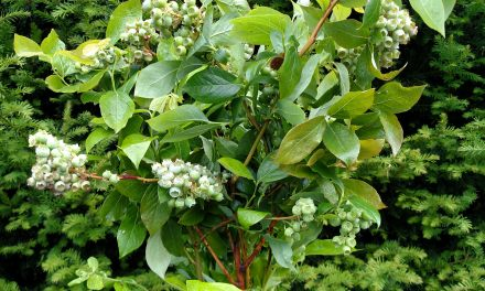 Blueberry Branches with Fruiting Berries 6.08.17