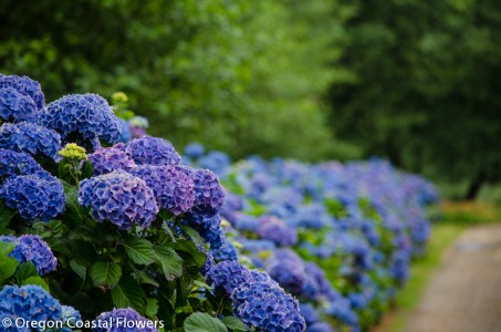 beautiful hydrangeas-1