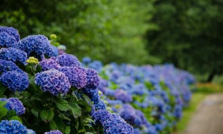 Oregon Coastal Hydrangea Flowers in Blue, White, Purple, Lavender, Antique, & More Colors 8.10.17