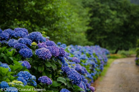 beautiful hydrangeas-2