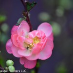 Double Flowering Quince in Red, Pink, & Orange