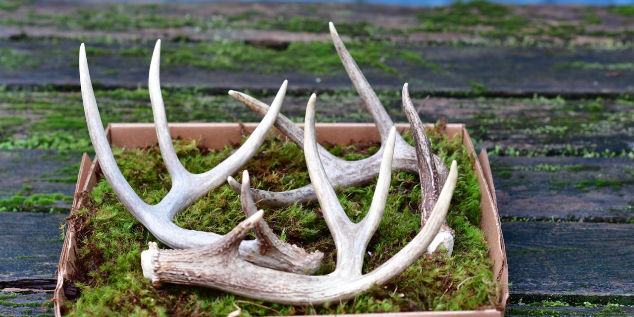Shed Antlers in Floral Use 4.03.18