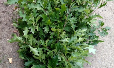 10.11.18 Green Oak Branches Fall Foliage Wholesale Flowers