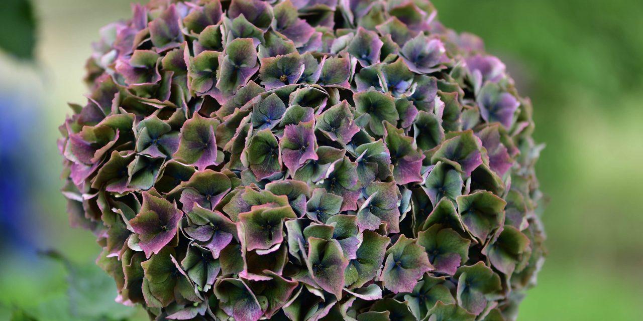 8.23.18 Antique Purple Hydrangea, Jewel-tone Antique Hydrangea