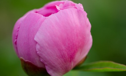 5.07.20 Mother's Day Wholesale Peony Flowers