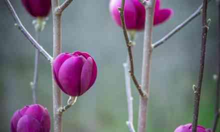 Black Tulip Magnolia Branches Specialty Cut Flowers