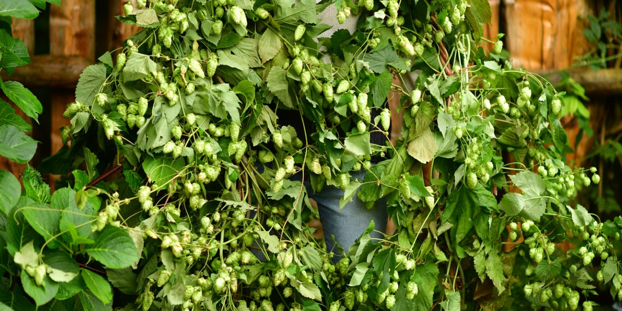 9.04.20 Hop Vines, 18′ for late summer & fall events