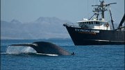 Blue Whales, Pacific Storm Vessel