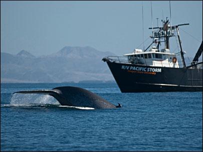 Blue Whales, Pacific Storm Vessel