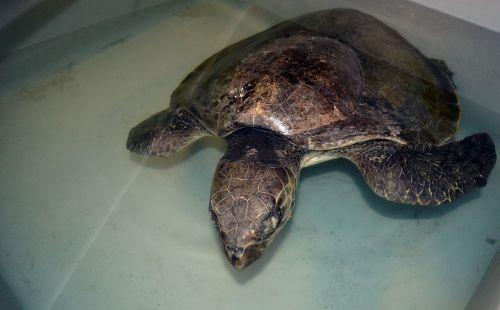 lightning sea turtle