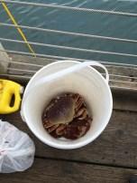 Dungenous crab Newport