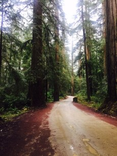 Howland Hill Road, Redwoods