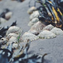 Whitby, Yorkshire, UK limpets, mollusks, seaside