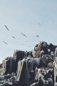 Farne Islands Northumberland UK Seabird
