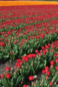 Tulip time | 3 ways to feel the bloom in the Netherlands | via Oregon Girl Around the World