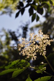 Wild Hyldeblomst Elderflower Fælledparken | | Sustainable Summmer Fun in Copenhagen | Oregon Girl Around the World