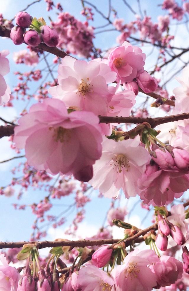 Spring in copenhagen where to find the flowers oregon girl 2 langelinie park sakura festival mightylinksfo