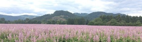 Willamette Valley field in bloom