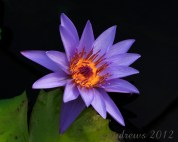 Yellow Center on purple Water Lily; how can a pollinator resist such a beautiful bloom?