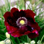 classic form, the poppy