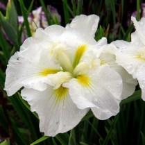 Mt Pleasant Iris Farm _05_1