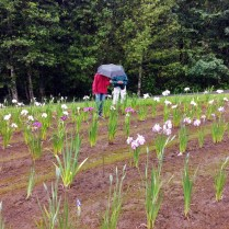 Mt Pleasant Iris Farm _12_1