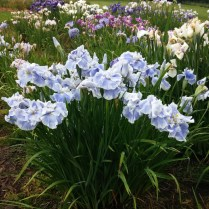 Mt Pleasant Iris Farm _15_1