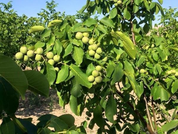 Основные сорта молдавской селекции грецкого ореха ...